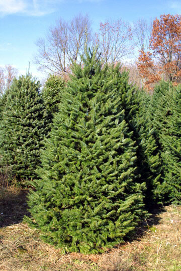 balsam-fir-tree-i10